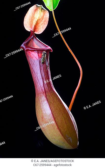 Pitcher plant Nepenthaceae (cultivated)