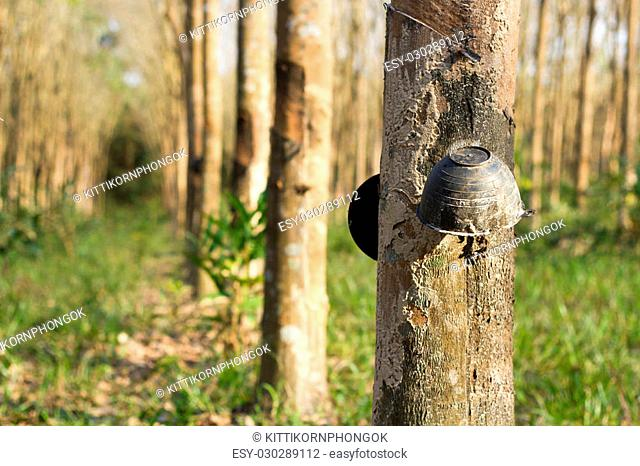 Cup of Tapping sap from the rubber tree
