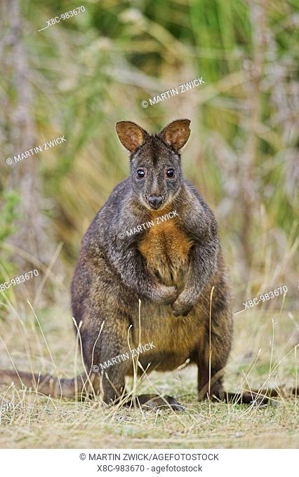 Tasmanian Pademelon Thylogale billardierii also called rufous-bellied Pademelon or Red-bellied Pademelon is a small, mostly nocturnal marsupial of Tasmania