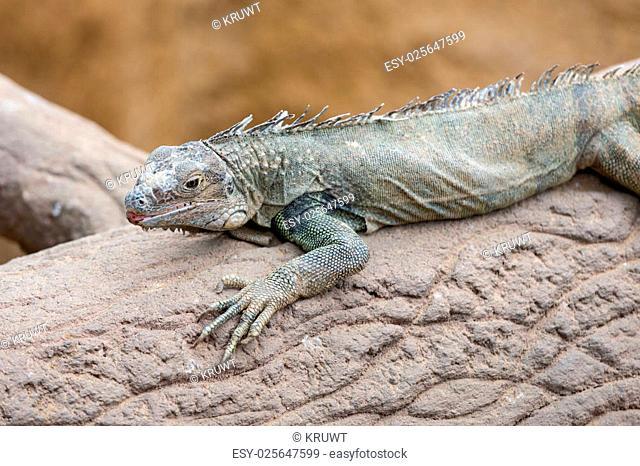 Blue lizard (Sceloporus serrifer) at a tree trunk