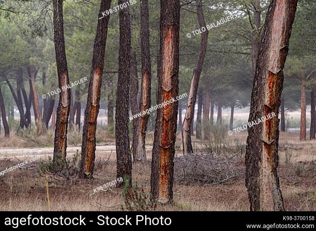 resin extraction in a Pinus pinaster forest, Montes de Coca, Segovia, Spain