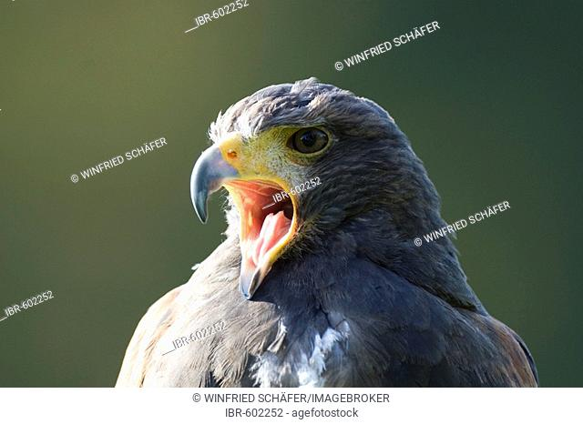 Steppe Eagle (Aquila nipalensis) portrait, Eagle- and Wolf Park in Gerolstein, Vulkaneifel, Germany, Europe