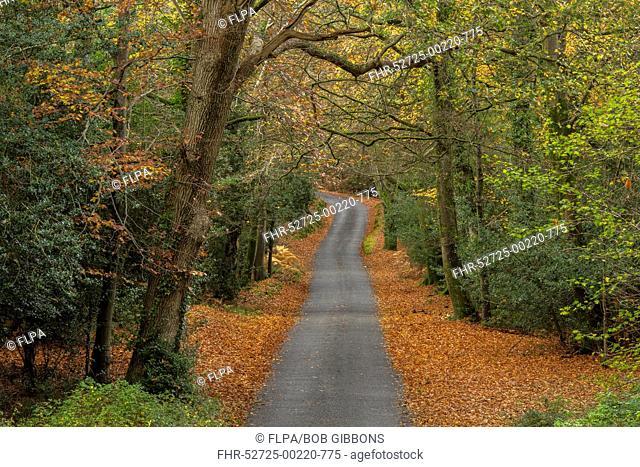 Quiet lane through deciduous woodland habitat, Malwood, New Forest N.P., Hampshire, England, November