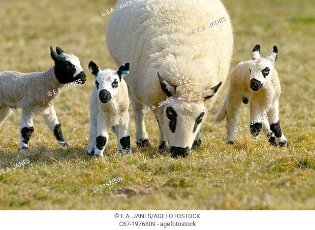 Kerry Hill Sheep flock Ewe and lambs