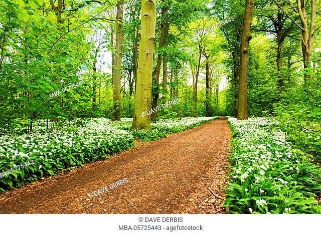 Forest, wild garlic, wild flowers, way, spring, Leipzig, Germany