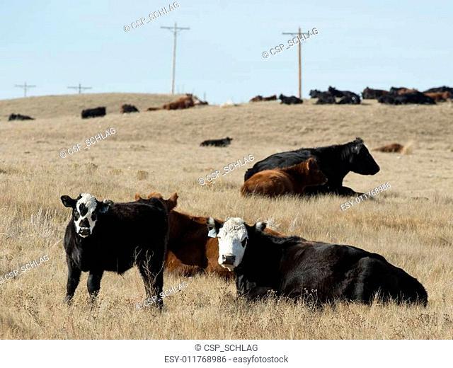 Black Angus Cattle