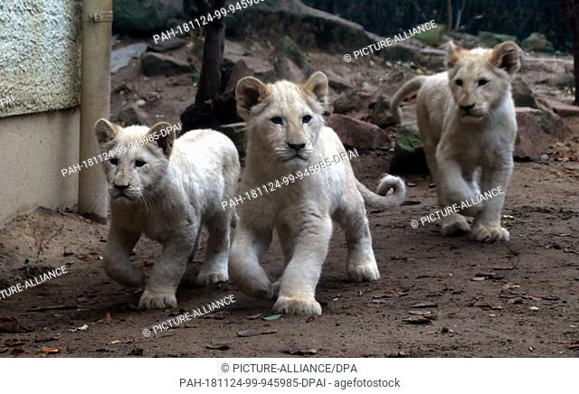 24 November 2018, Saxony-Anhalt, Magdeburg: Three of the four little white lions run through their enclosure at Magdeburg Zoo