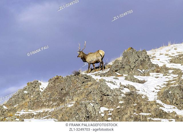 Bull elk (Cervus canadensis) grow antlers for the fall mating season and keep them through the winter, they fall off for the new yearâ. . s growth