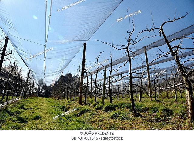 Plantation of apple, countryside, 2017, Sao Joaquim, Santa Catarina, Brazil