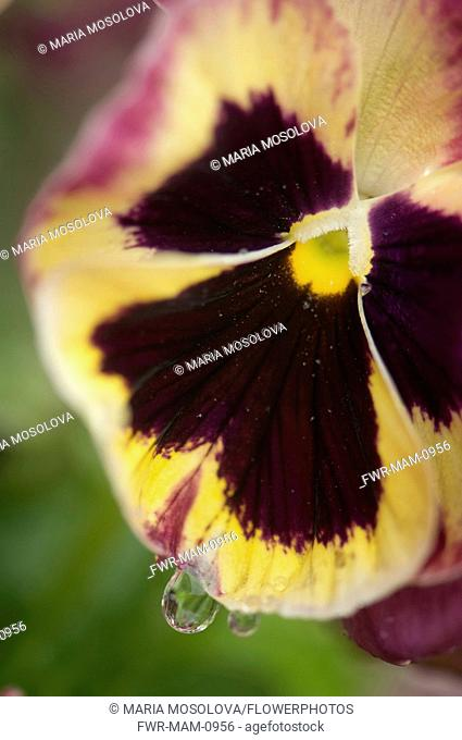 Pansy, Viola x wittrockiana. Close cropped view of single flower with cream and purple edged petals and black at center with water droplet on lower edge