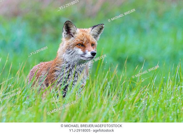 Red Fox (Vulpes vulpes) on Meadow, Springtime, Hesse, Germany, Europe