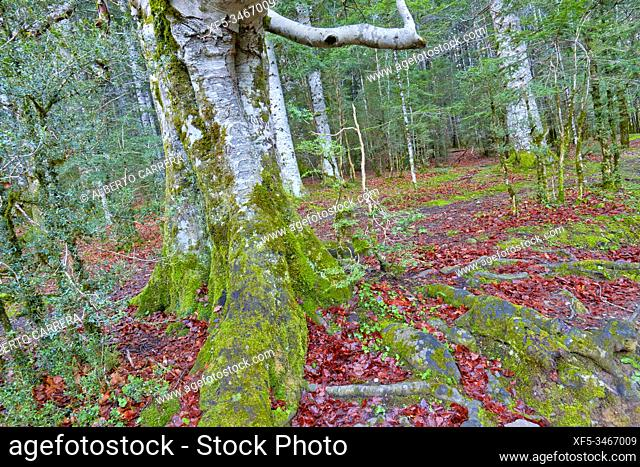 Beech Forest, Ordesa Valley, Ordesa y Monte Perdido National Park, UNESCO Biosphere Reserve of Ordesa-Viñamala, Pyrennes, Huesca, Aragón, Spain, Europe