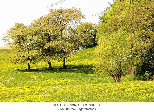 Meadow with Dandelion flowers on Stenberget, Skurup, Scania, Sweden