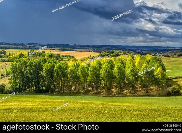 poplar grove near Montastruc, Lot-et-Garonne Department, Nouvelle-Aquitaine, France