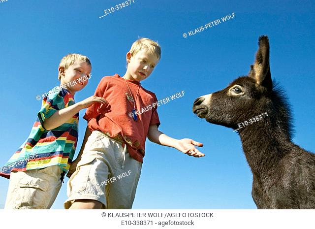 Two six and eight year old boys want to stroke a a young donkey