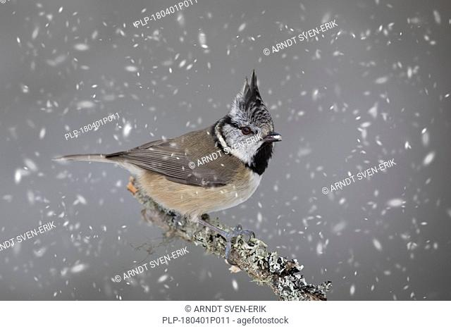 European crested tit (Lophophanes cristatus / Parus cristatus) perched in tree during snowfall in winter