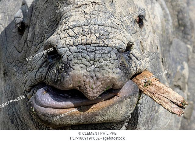 Indian rhinoceros (Rhinoceros unicornis) chewing piece of wood, close up of upper lip, tongue and snout