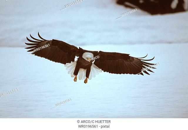 Bald, Eagle, Chilkat, River, Alaska, USA, Haliaeetus, leucocephalus