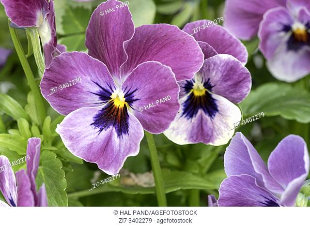 detail of rose violet panse' flowers, shot at Andenes, Norway