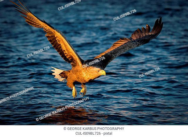 White-tailed Eagle (Haliaeetus albicilla), in flight, hunting for fish, Å i Lofoten, Nordland, Norway