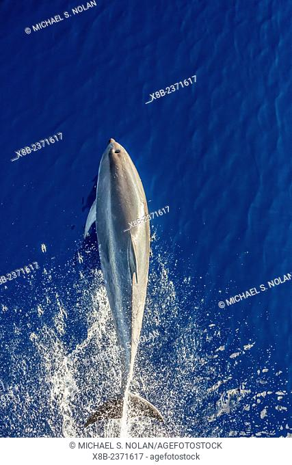 Bottlenose dolphin, Tursiops truncatus, bow-riding the National Geographic Explorer off Madeira, Portugal