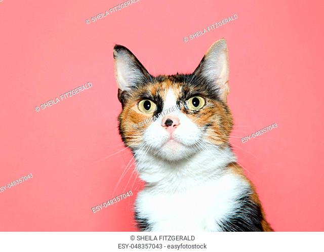 Close up portrait of a surprised calico cat looking at viewer. Pink background with copy space