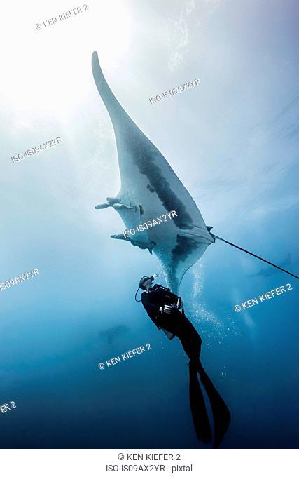 Giant Ocean Manta Ray with scuba diver at Roca Partida Island, Socorro, Mexico