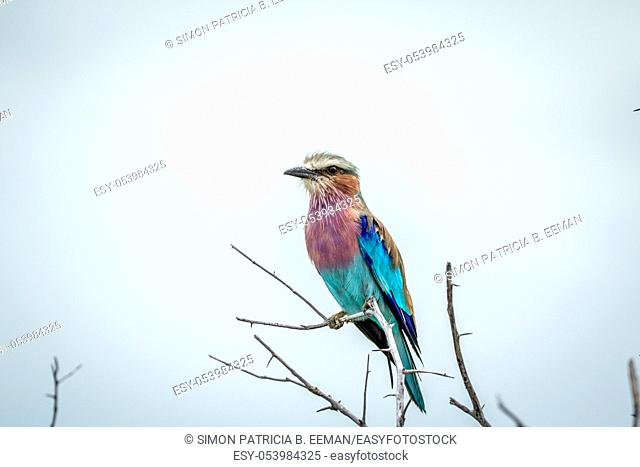 Lilac-breasted roller sitting on a branch in the Etosha National Park, Namibia