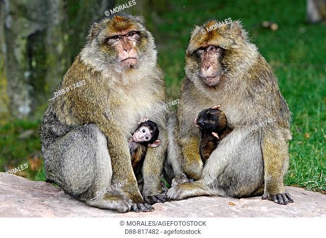 Barbary Macaque (Macaca sylvanus). Montagne des Singes park, Kintzheim, Alsace, France