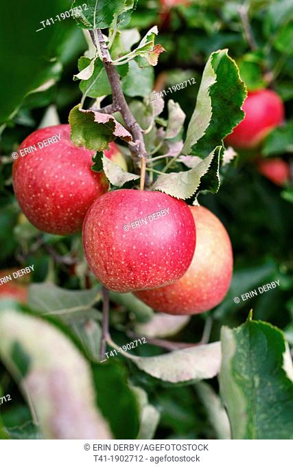A bunch of apples hanging from a tree branch