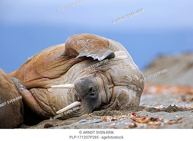 Male walrus (Odobenus rosmarus) resting on beach and scratching head with fore flipper, Svalbard / Spitsbergen, Norway