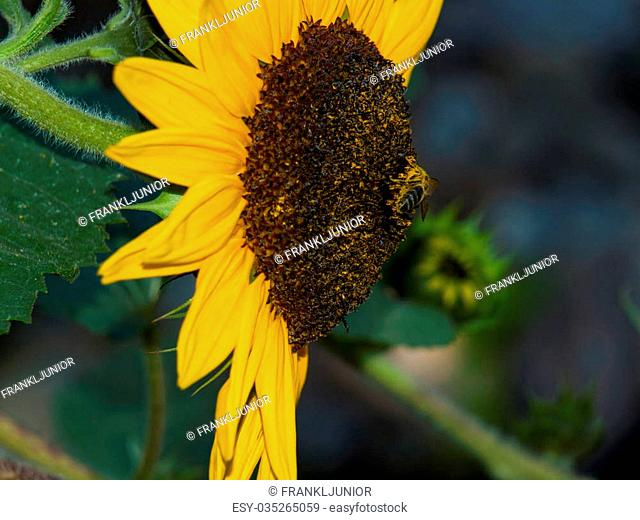 Single Honeybee on a Bright Yellow Sunflower