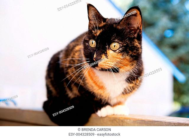 Calico Cat Outdoors