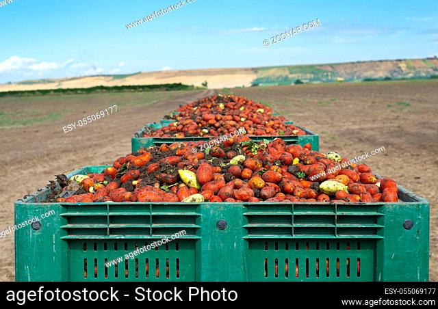 Tomatoes for canning. Agriculture land and crates with tomatoes. Harvested tomatoes