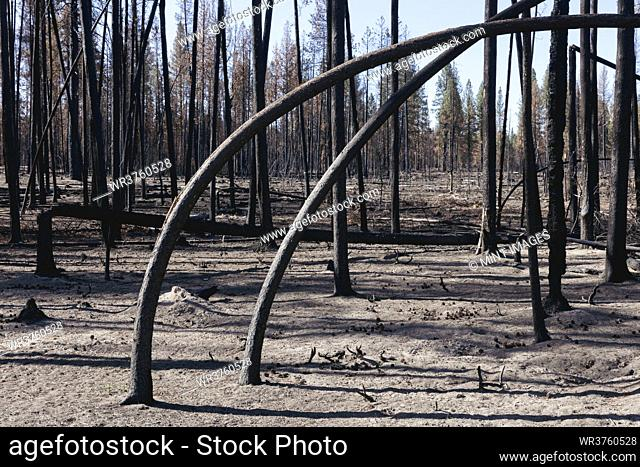 Destroyed and burned forest after extensive wildfire, charred twisted trees