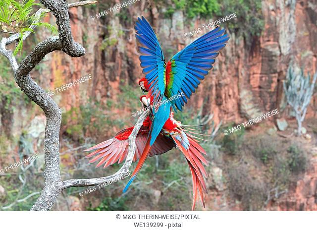 Playful Red-and-green Macaws (Ara chloropterus), Buraco das Araras, Mato Grosso do Sul, Brazil