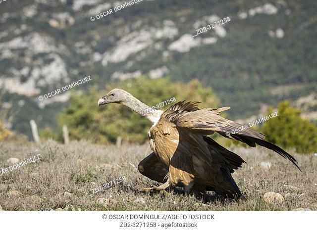 Griffon Vulture (Gyps fulvus) running to take off. Lleida province. Catalonia. Spain