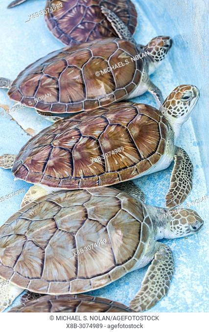 Recovered green sea turtle, Chelonia mydas, at the sea turtle rescue center on Cayo Largo, Cuba