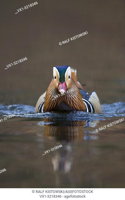 Mandarin Duck / Mandarinente ( Aix galericulata ), colourful drake in breeding dress, comes closer, frontal view