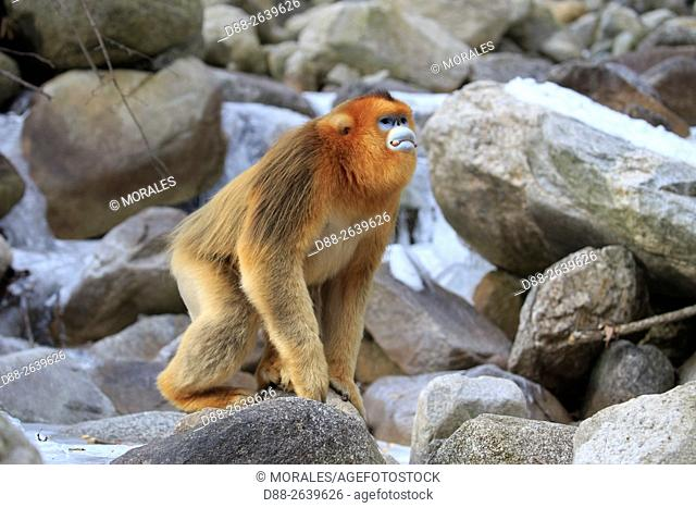 Asia, China, Shaanxi province, Qinling Mountains, Golden Snub-nosed Monkey (Rhinopithecus roxellana), near a river