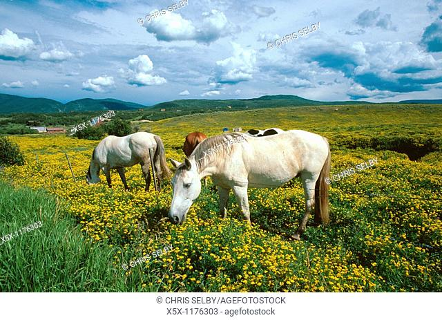 Horses in a field of yellow flowers in Routt County, Colorado, USA
