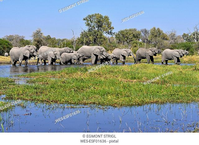 Africa, Namibia, Bwabwata National Park, Kwando river, herd of elephants, Loxodonta africana