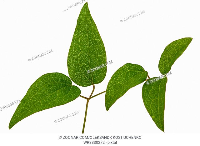 Green leafs of clematis, isolated on white background
