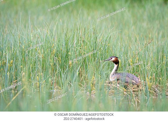Great Crested Grebe (Podiceps cristatus) on nest. Hintersee lake. Upper Bavaria. Germany