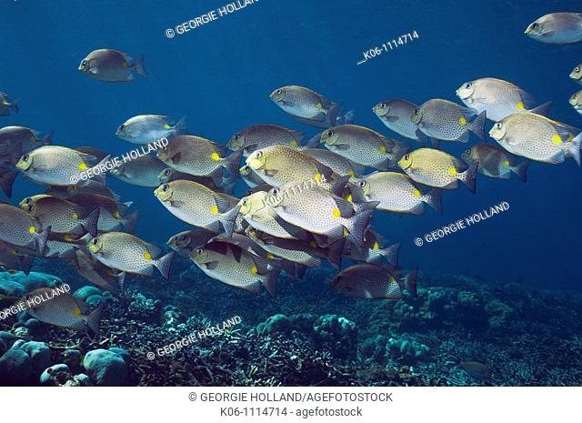 Golden rabbitfish Siganus guttatus school  Andaman Sea, Thailand