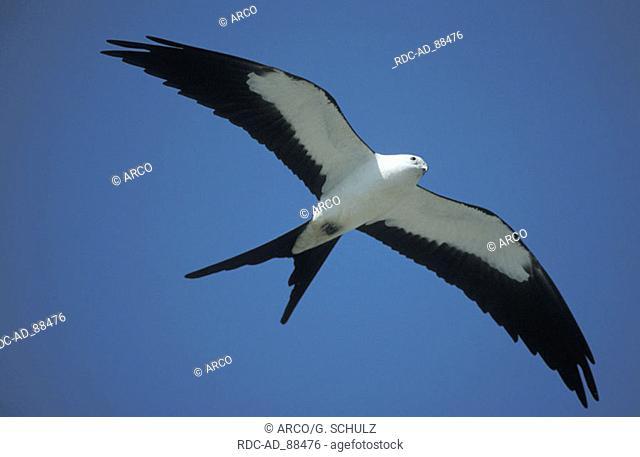 Swallow-tailed Kite Everglades national park Florida USA Elanoides forficatus