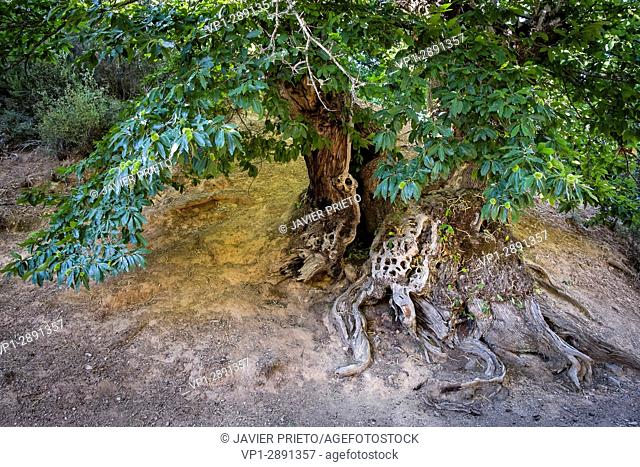 Roots and trunk of an old chestnut among the remains of the Roman mining of Las Médulas. Las Médulas Natural Monument. The Bierzo. Lion