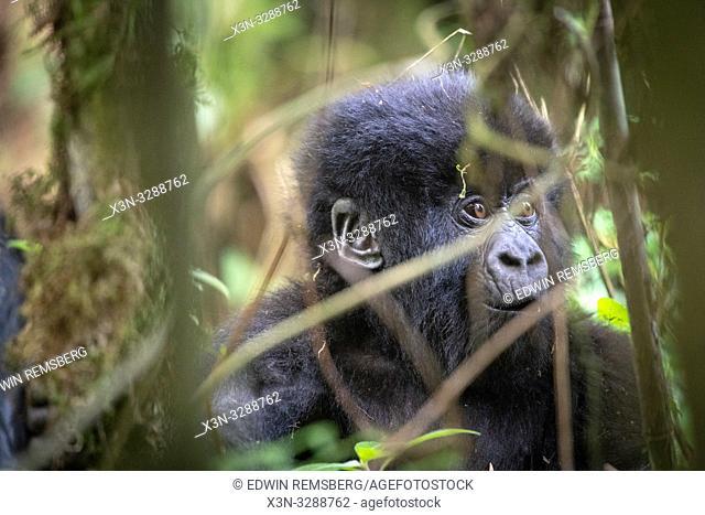 A baby Mountain Gorilla (Gorilla beringei beringei) of the Muhoza group, in Volcanoes National Park, Virunga mountain range , Rwanda