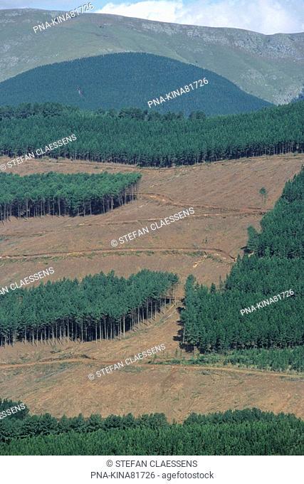 Pine tree Pinus spec. - Drakensbergen, Piggs peak, Mbabane, Swaziland, Africa