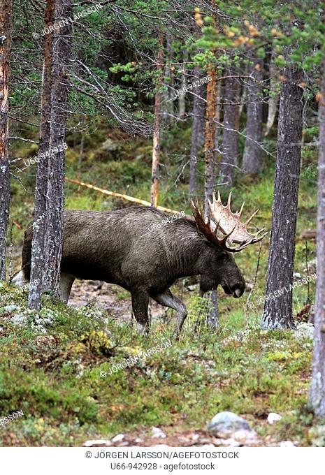 Moose, Dalarna, Sweden